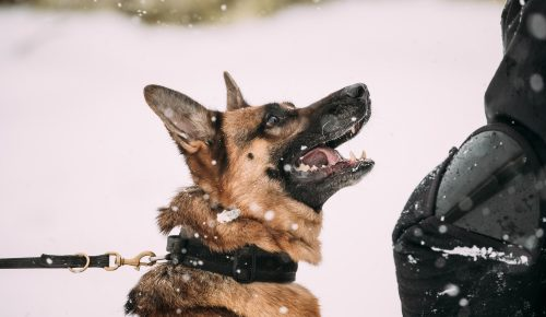 Training Of Purebred German Shepherd Young Dog Or Alsatian Wolf